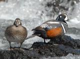 Duck Harlequin D-048.jpg