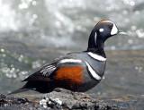 Duck Harlequin D-009.jpg