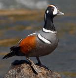 Duck Harlequin D-014.jpg