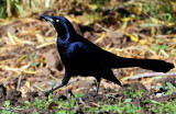 Grackle, Great-tailed  D-007.jpg