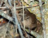 Wren, Pacific (mate of leucistic)