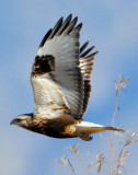 Hawk, Rough-legged D-001.jpg