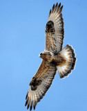 Hawk,  Rough-legged D-003.jpg