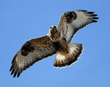 Hawk,  Rough-legged D-004.jpg