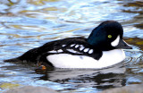 Goldeneye, Barrows