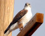 Hawk Ferruginous 021.jpg