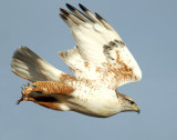 Hawk, Ferruginous