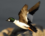 Goldeneye CommonD-025.jpg