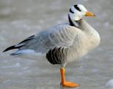Goose, Barhead