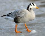 Barhead Goose,