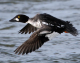 Goldeneye CommonD-036.jpg