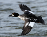 Goldeneye CommonD-037.jpg