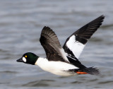 Goldeneye, Common #2