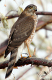 Hawk Sharp-shinned D-002.jpg