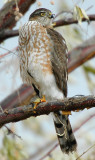 Hawk Sharp-shinned D-005.jpg