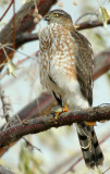 Hawk Sharp-shinned D-008.jpg