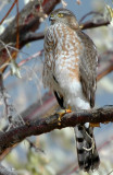 Hawk Sharp-shinned D-009.jpg