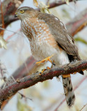 Hawk Sharp-shinned D-012.jpg