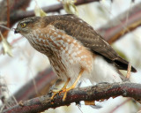 Hawk Sharp-shinnedD-004.jpg