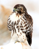 Hawk Red-tailed D-049.jpg