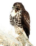 Hawk Red-tailed D-047.jpg