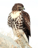 Hawk Red-tailed D-046.jpg