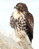 Hawk Red-tailed D-45.jpg