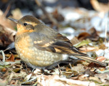 Thrush, Varied Female D-033.jpg