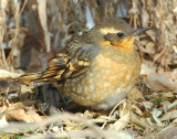 Thrush, Varied Female D-024.jpg