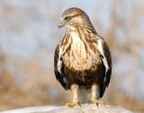 Hawk Rough-legged D-005.jpg