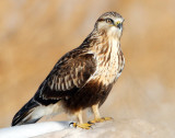 Hawk Rough-legged D-009.jpg