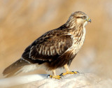 Hawk Rough-legged D-015.jpg