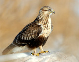 Hawk Rough-legged D-019.jpg