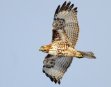 Hawk Red-tailed D-057.jpg