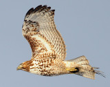 Hawk Red-tailed D-058.jpg