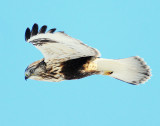 Hawk Rough-legged D-021.jpg