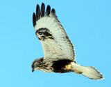 Hawk Rough-legged D-022.jpg