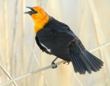Blackbird Yellow-headedD-004.jpg