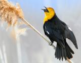 Blackbird Yellow-headedD-007.jpg