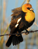 Blackbird Yellow-headedD-013.jpg