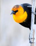 Blackbird Yellow-headedD-020.jpg
