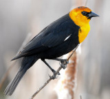 Blackbird Yellow-headedD-023.jpg