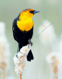 Blackbird Yellow-headedD-031.jpg