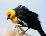 Blackbird Yellow-headedS-1020.jpg