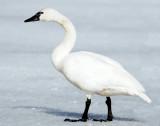 Swan  Tundra D-001.jpg