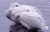 Pelican White S-1147.jpg