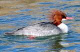 Merganser, Common