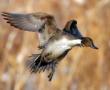 Pintail, Northern