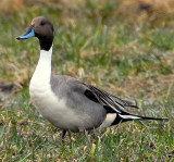 Pintail, Northern D-012.jpg