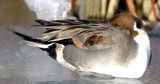 Pintail, Northern D-011.jpg